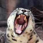 snow-leopard-yawning-2[1]